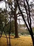 Il Ginkgo biloba in autunno è ormai spoglio