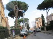 Anche i pini dell'Accademia Americana, lesionati dal vento, vengono tagliati per evitare pericoli